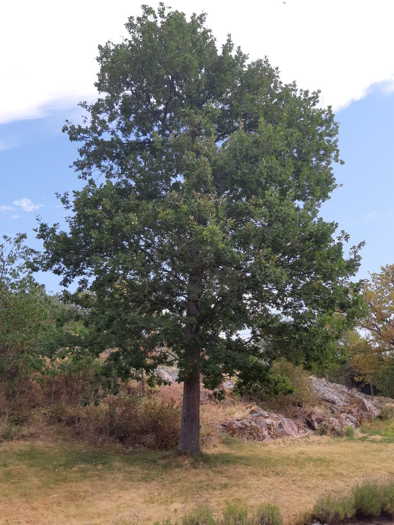 Träd nära hus kan skapa sättningsproblem
